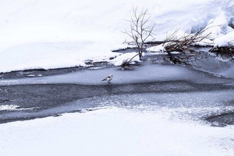 Lintu Tuiskojoen jäällä