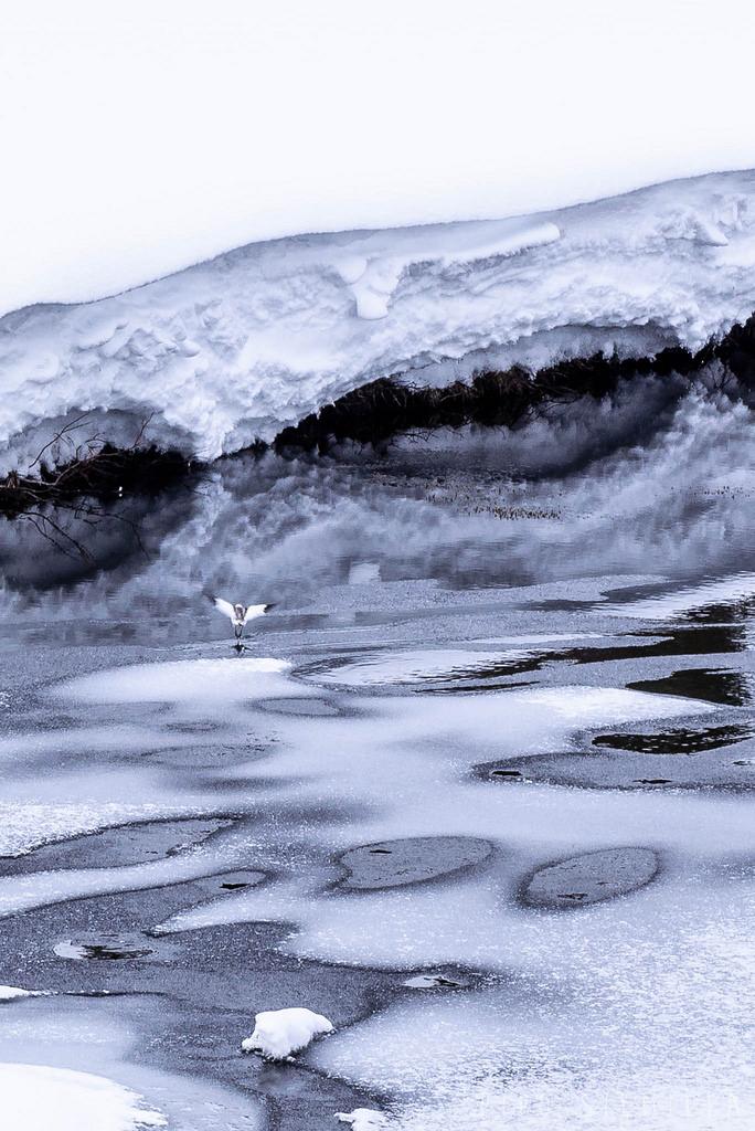 Lintu Urho Kekkosen kansallispuistossa
